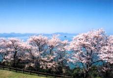 御立岬公園桜1